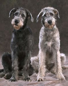 Irish wolfhounds...such sweet dogs