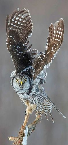 Northern Hawk Owl - CANADA, Québec by Anthony Fontaine