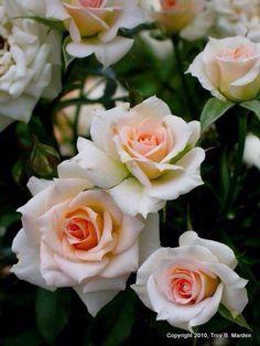 ~Barbara Mandel rose