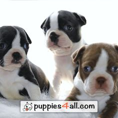 See how cute are those #Boston_Terrier Puppies! Click here: https://www.youtube.com/watch?v=rbyVJlSu1XI
