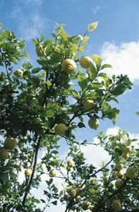 How to Make a Lemon Tree Grow Faster includes tips on watering, fertilizing and pruning.