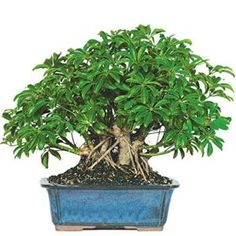 Bonsai Trees For Sale, Bonsai Tree Types, Indoor Bonsai Tree, Indoor Plant Pots, Faux Olive Tree, Umbrella Tree, Plantas Bonsai, Window Plants, Gardens