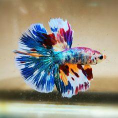 Betta Fish Tank, Beta Fish, Betta Aquarium, Pretty Fish, Beautiful Fish, Pretty Animals, Animals Beautiful, Colorful Fish, Tropical Fish