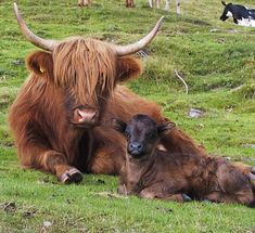 My favorite cow species, the Highland Cow. Animals Beautiful, Cute Animals, Highland Cattle, My Animal, All Dogs, Science Nature, Cute Puppies, Sheep, Cute Pictures