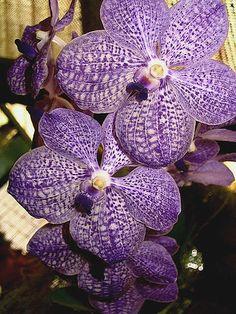 Orchid Purple Vanda