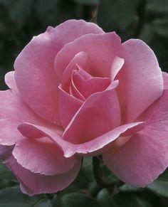 Queen Elizabeth Grandiflora Rose Love Rose, My Flower, Pretty Flowers, Elegant Flowers, Cactus Flower, Exotic Flowers, Purple Flowers, White Flowers, Queen Elizabeth Rose