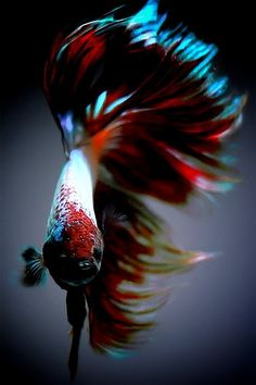 Betta fish (Siamese fighting fish) We had a red one named Elmo (Melody named it).