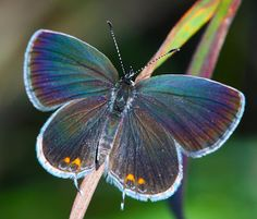 The Eastern Tailed Blue Butterfly