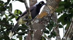 Azure-naped jay (Cyanocorax heilprini), endemic to Colombia