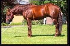 Saturday Mr Pars 2008 Quarter Horse Stallion By SaturdayNightCustom X Pars Last Lady Breeding Season