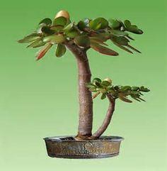 Ecosia - the search engine that plants trees Bonsai Garden, Succulents Garden, Jade Tree, Crassula Ovata, Jade Plants, Echeveria, Trees To Plant, Gardens, Tree Planting