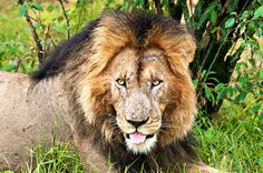 Close-up of the beautiful face of a lion.  Kenya, Africa