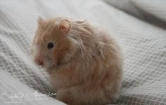 Mink Roan lh hamster (eeppUu - llWhwh) Hamsters, Hamster Toys, Hamster Treats, Mink Colour, Syrian Hamster, Long Hair, Husband, Coats, Patterns