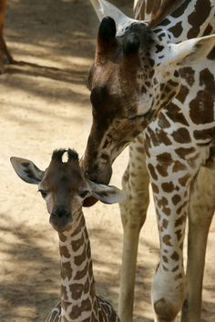 Because mama's kisses are the BEST. #GiraffeBirthLive