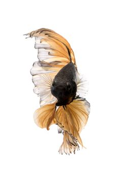 Autumn Leaves - Capture the moving moment of yellow siamese fighting fish isolated on white background. Betta fish