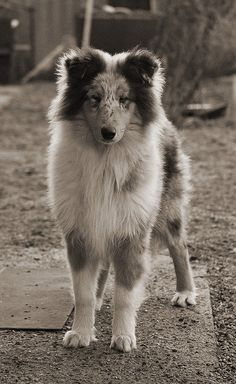 Rough Collie pup - absolutely beautiful