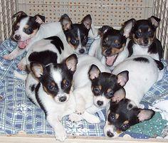 Image: Courtesy of New Rattitude, Inc. Rat Terrier Rescue