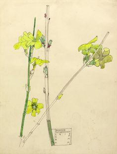 "Charles Rennie Mackintosh ""Jasmine"" 1915 (from the Hunterian Museum and Art Gallery, University of Glasgow)"