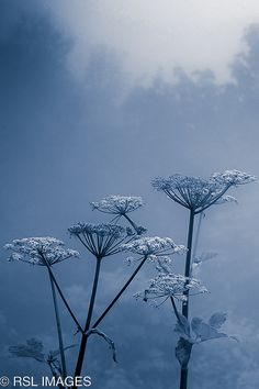 Photo .... Queen Annes Lace in Fog by RSL IMAGES ... a study  in blues ... stems in black ... gorgeous ...