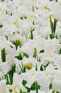 A field of white irises