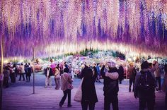 See Japan's incredible cascading wisteria tunnels this spring