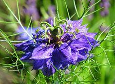 #-neuer Gartentraum- Nigella