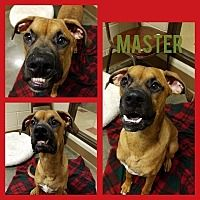 Wintersville, Ohio - Boxer. Meet MASTER, a for adoption. https://www.adoptapet.com/pet/20337799-wintersville-ohio-boxer-mix