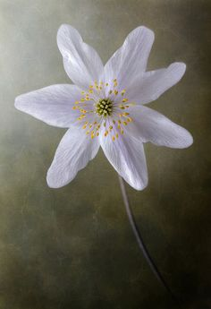 Wood Anemone by Mandy Disher on Flickr.