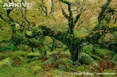 Ancient sessile oak tree. Gwen climbs such a one while hunting a boar in the forest of Lumere.