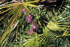 Bright pink blossoms of Delosperma cooperi Table Mountain and Leptinella squalida carpet the ground below a Mediterranean fan palm at McMenamins Edgefield.