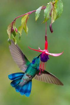 Green Violetear (Colibri Thalassinus) Feeding, Savegre, Costa Rica   De: Green Light Collection