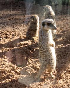 Meerkats in their new enclosure.