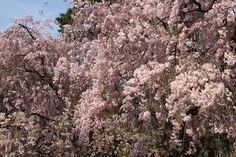 京都御苑 近衛邸跡のヤエベニシダレ 2009.04.12 /アンジュー フォトギャラリー