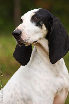 The French Chien Ariegeois ~ Breed originated  in 1912, talented scent hound,  and affectionate and serene at home.