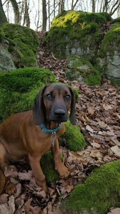 Ambros, 4 month old bavarian mountain hound, bgs