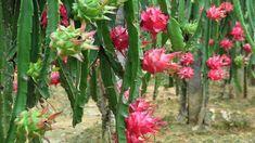 Os 8 Benefícios da Pitaya Para Saúde | Dicas de Saúde