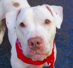 KALU – A1056148 ***RETURNED 06/12/16*** SPAYED FEMALE, WHITE / BROWN, AM PIT BULL TER / AMERICAN STAFF, 3 yrs OWNER SUR – EVALUATE, HOLD RELEASED Reason OWNER SICK Intake condition EXAM REQ Intake Date 06/13/2016, From NY 10029, DueOut Date 06/13/2016 Medical Behavior Evaluation GREEN