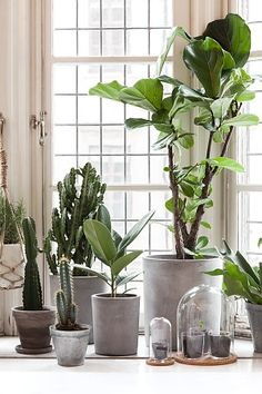 go green with house plants. Potted plants near a window including a fiddle leaf fig, ficus lyrata. Green Plants, Potted Plants, Ficus Lyrata, Plantas Indoor, Cactus Plante, Diy Plant Stand, Plant Stands, Decoration Plante, Concrete Pots