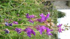 Linaria triornithophora (L.) Wild. / Paxarinos.