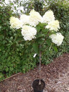 Hydrangea pan. Phantom (H4) op stam