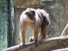 MACACO - Macaco de Pagai- Beruk_Mentawai_Macaca_pagensis