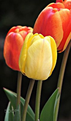 Tulips - Beautiful Red and Yellow Tulips