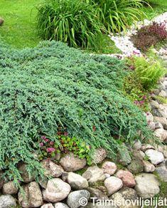 BLUE CARPET SINIKATAJA | Tahvoset Plants, Cottage