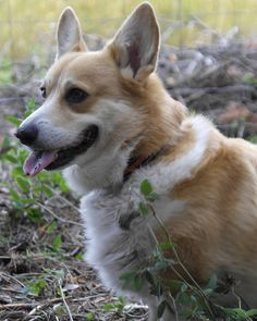"Kiti (@koirakoulukitislife) on Instagram: ""#corgi#mycorgi"""