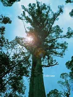 ✣… Tall and strikingly Beautiful is this very old Tree … reminiscent of the…