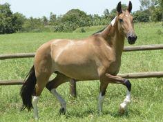 Nikiti do Barulho - Campolina mare Campolina, Donkeys, Minimal, Creatures, Lovers, Colours, Horses, Equestrian, Paintings