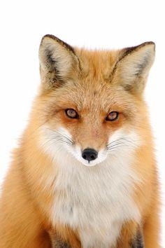 Renard Roux Red Fox   por (r.gelly)