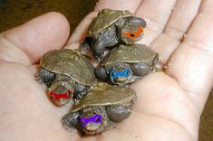 Funny pictures about Real Teenage Mutant Ninja Turtles. Oh, and cool pics about Real Teenage Mutant Ninja Turtles. Also, Real Teenage Mutant Ninja Turtles photos. Cute Little Animals, Cute Funny Animals, Funny Cute, Hilarious, Baby Ninja Turtle, Teenage Mutant Ninja Turtles, Pet Turtle, Teenage Ninja, Teenage Turtles