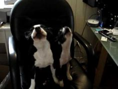 Boston Terriers SING ALONG!
