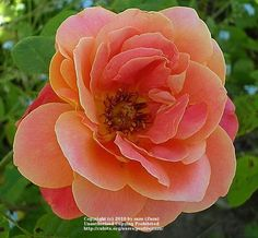 Photo of Rose (Rosa 'Maria Peral') uploaded by zuzu